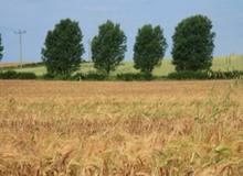 Поле пшеницы в Волгоградской области
