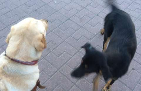 Собака-поводырь, которую похитили у слепой девушки