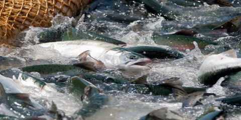 Рыбная путина