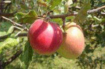 Яблочный спас в 2017 году приходится на 19 августа: традиции православного праздника, обычаи, приметы