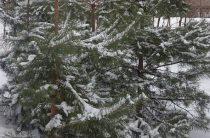 Елочные базары будут работать во всех районах Волгограда. Где купить елку или сосну, адреса